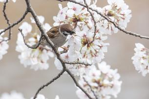 花が咲き誇る桜の枝で蜜をついばむスズメの写真素材 [FYI04605723]