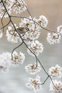 花が咲き誇る桜の枝で蜜をついばむスズメの写真素材 [FYI04605727]