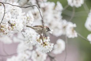 花が咲き誇る桜の枝で蜜をついばむスズメの写真素材 [FYI04605733]