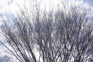 ケヤキの冬姿の写真素材 [FYI04605933]