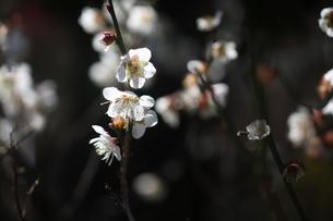 梅・冬至梅の花の写真素材 [FYI04605937]