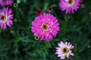 咲き始めたデージーの花の写真素材 [FYI04605940]