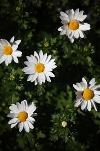 クリサンセマムの花の写真素材 [FYI04605941]