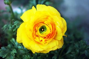 ラナンキュラスの花の写真素材 [FYI04605944]