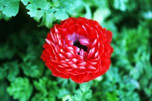 アネモネの赤い花の写真素材 [FYI04605946]