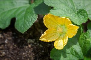 畑で栽培されている冬瓜の花の写真素材 [FYI04605996]