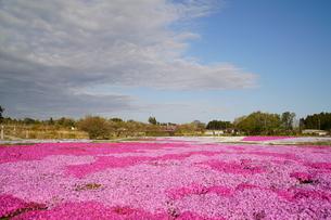満開の芝桜の写真素材 [FYI04606118]