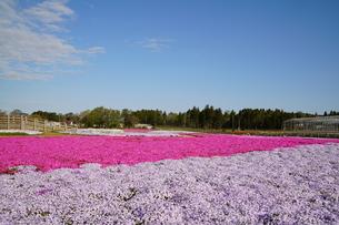 芝桜の写真素材 [FYI04606126]