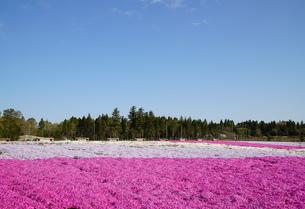 富田農業センター芝桜の写真素材 [FYI04606127]