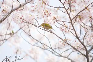 春の満開の桜の木で吸う花を選ぶメジロの写真素材 [FYI04606132]