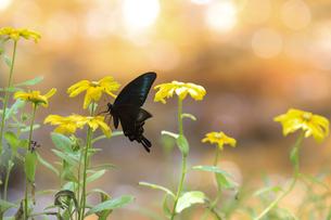 ルドベキアの花の蜜を吸うミヤマカラスアゲハの写真素材 [FYI04606248]