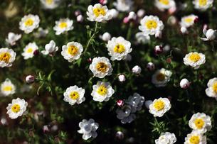 花かんざしの花咲くの写真素材 [FYI04606376]
