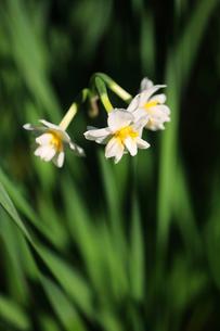 房咲き水仙の花の写真素材 [FYI04606383]