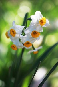 日本水仙の花の写真素材 [FYI04606384]
