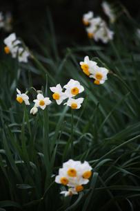 日本水仙の花の写真素材 [FYI04606386]