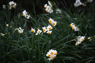 日本水仙の花の写真素材 [FYI04606389]