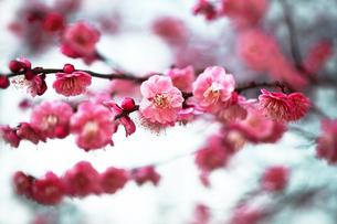 梅・唐梅の花の写真素材 [FYI04606394]