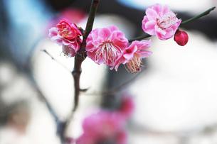 梅・唐梅の花の写真素材 [FYI04606399]