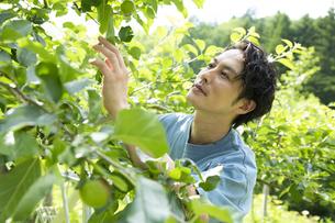 農作業するミドルの男性の写真素材 [FYI04607363]