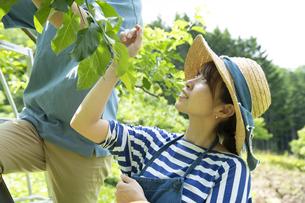農作業する若い女性の写真素材 [FYI04607365]