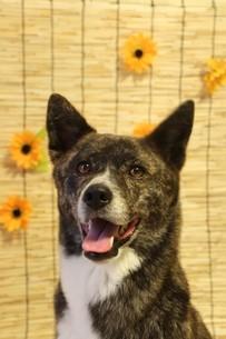スダレを背景に笑顔で見つめる虎毛の犬の写真素材 [FYI04607797]