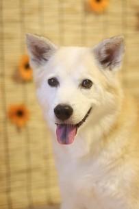 スダレを背景に笑顔で見つめる犬の写真素材 [FYI04607799]