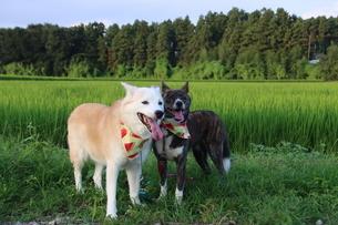 2匹の笑顔の犬と田園風景の写真素材 [FYI04607804]