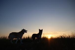 夕焼けと2匹の犬のシルエットの写真素材 [FYI04607806]