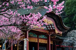 太宰府天満宮の梅の写真素材 [FYI04607917]