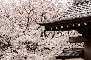 東長寺の桜の写真素材 [FYI04607929]
