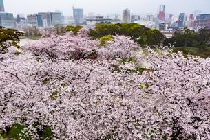舞鶴公園桜のある風景の写真素材 [FYI04608271]