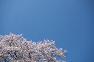 青空と桜の木の写真素材 [FYI04608292]