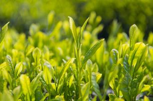 新茶の写真素材 [FYI04608294]
