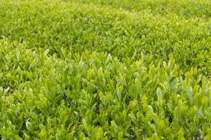 茶畑の写真素材 [FYI04608324]