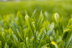 新茶の写真素材 [FYI04608349]