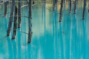 古木を映す青い池の水面の写真素材 [FYI04608543]