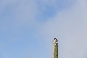 朝日を浴びて鳴く信州の夏鳥の写真素材 [FYI04608606]