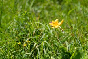 夏の車山高原に咲く高山植物の写真素材 [FYI04608689]