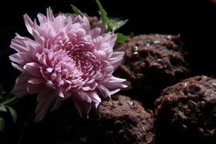 菊とぼたもちのアップの写真素材 [FYI04608736]
