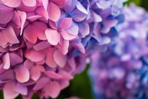 ピンクと紫 2色のあじさいの写真素材 [FYI04609001]