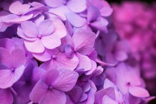 ピンクのあじさいの写真素材 [FYI04609002]