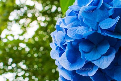 青いあじさいの写真素材 [FYI04609005]