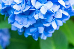 青いあじさいの写真素材 [FYI04609010]
