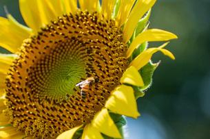 ミツバチとひまわりの写真素材 [FYI04609013]