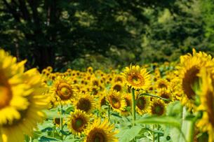 夏のひまわり畑の写真素材 [FYI04609014]