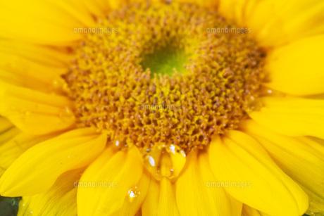 ひまわりの花びらとしずくの写真素材 [FYI04609018]