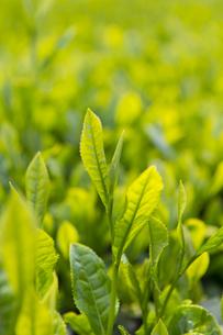 新茶の写真素材 [FYI04609090]