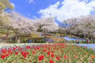 火の山公園トルコチューリップ園 山口県下関市の写真素材 [FYI04609213]