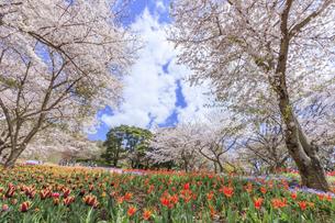 火の山公園トルコチューリップ園 山口県下関市の写真素材 [FYI04609215]