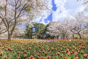 火の山公園トルコチューリップ園 山口県下関市の写真素材 [FYI04609268]